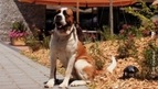 the St. Bernard Dog Museum in Martigny - the story of this legendary Swiss Mountain Dog