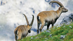 Alpine Ibex at the Swiss National Park in Graubunden