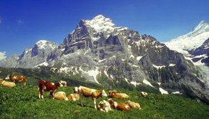 Summer Time in Grindelwald, Switzerland - flowering meadows and grazing cattle