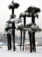 Unusual: snow-covered palmtrees in Lugano, the mediterranean part of Switzerland